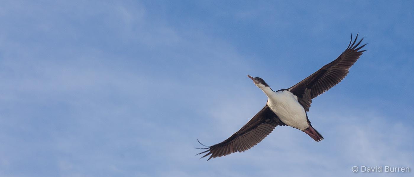 Cormorant flying in blue sky